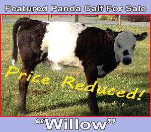 Miniature Panda For Sale